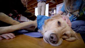 Comfort Dog Mahlah Milford IL